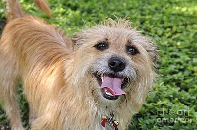 Photograph - Cairn Terrier by Andres LaBrada