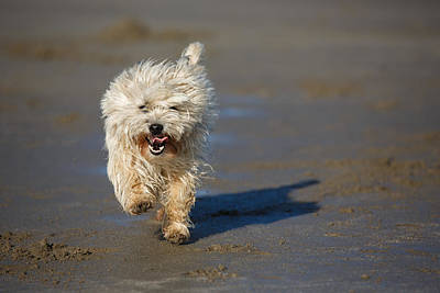 Buy Dog Art Photograph - Cairn Terrier Running On The Beach by Izzy Standbridge