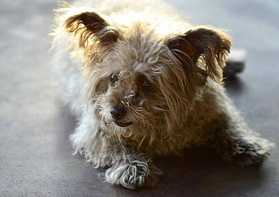 Dog Rescue Photograph - Cairn Terrier  by Saija  Lehtonen