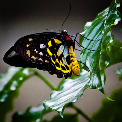 Butterfly Photograph - Cairns Birdwing Butterfly by David Patterson