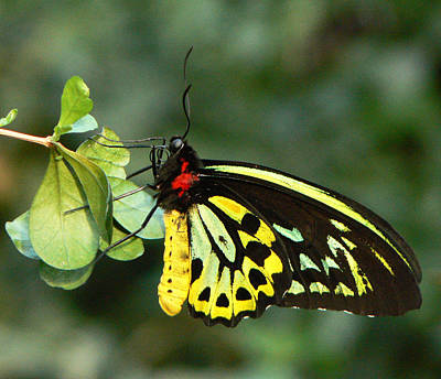 Photograph - Cairns Birdwing Butterfly by Margaret Saheed