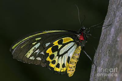 Photograph - Cairns Birdwing by JT Lewis