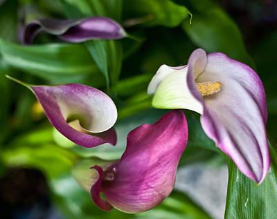 Cala Lilies Art Print by Eti Reid