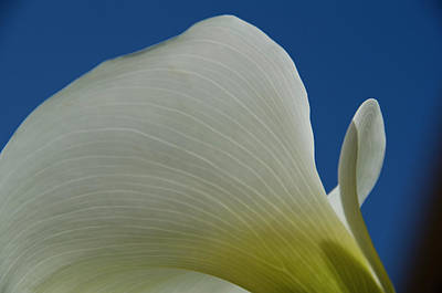 Photograph - Cala Lilly 11 by Ron White