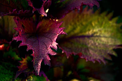 Caladiums Photograph - Caladium I by Bonnie Bruno