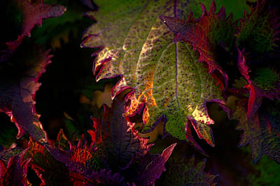 Caladiums Photograph - Caladium II by Bonnie Bruno