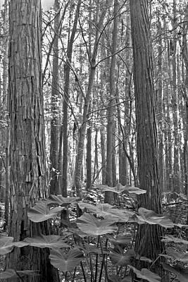 Photograph - Caladiums. Shingle Creek Basin. by Chris  Kusik