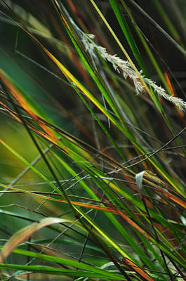 Photograph - Calamagrostis Lines by Rebecca Sherman