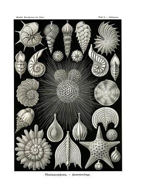 Art In Nature Drawing - Calcispongiae by Splendid Art Prints