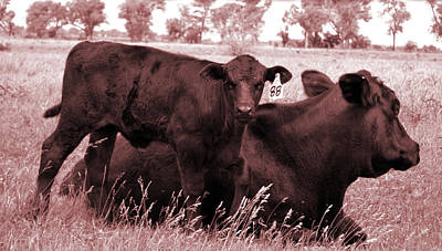 Whited Photograph - Calf 99 And Bull Sepia by Roxann Whited