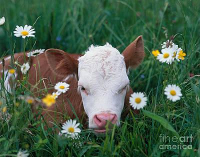 Photograph - Calf Among Flowers by Hans Reinhard