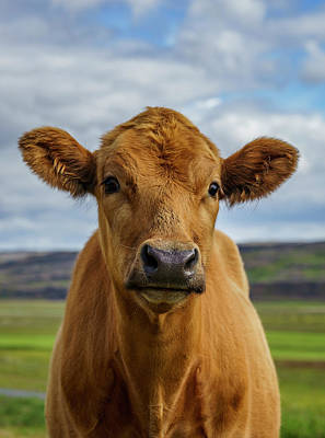 Calf Looking At The Camera, Iceland Art Print by Arctic-images