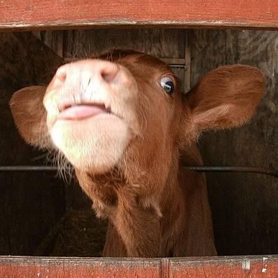Cow Photograph - Calf by Rebekah Martin