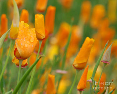 Photograph - Cali Poppy In The Rain I by Chuck Flewelling