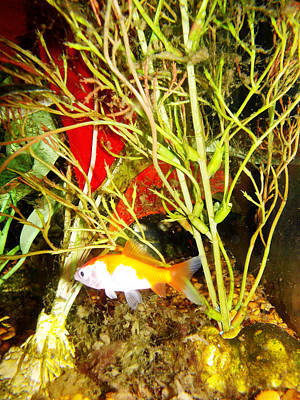 Photograph - Calico Comet Goldfish by Shere Crossman