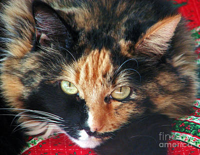 Photograph - Calico Cutie by Chris Anderson