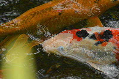 Photograph - Calico Koi by Tim Good