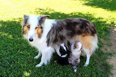 Photograph - Calico Nursing Her Pups by Kathryn Meyer