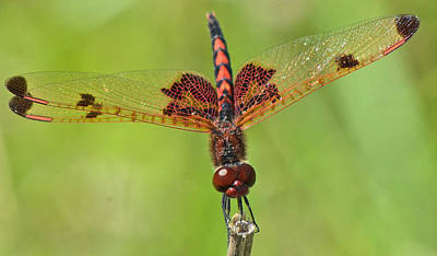 Photograph - Calico Pennant by Linda Shannon Morgan