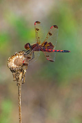 Calico Pennant On Dried Flower Art Print