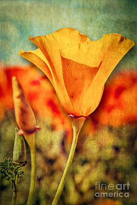 Photograph - California Poppy by Pam Vick