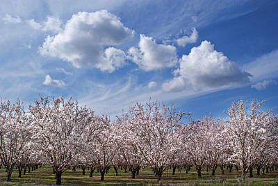 Beauty In Nature Photograph - California Almond Blossoms In Bloom by Barbara Rich