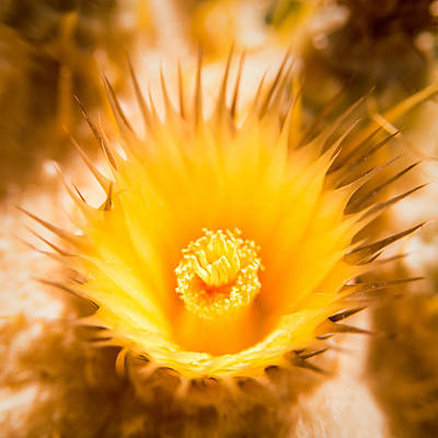 Photograph - California Barrel Cactus Flower by  Onyonet  Photo Studios