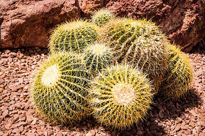 Photograph - California Barrel Cactus by  Onyonet  Photo Studios