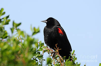 Photograph - California Bi-colored Blackbird by Susan Wiedmann