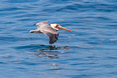 Photograph - California Brown Pelican In Breeding Plumage In Flight La Jolla California by Ram Vasudev