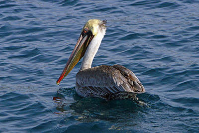 Water Droplets Sharon Johnstone - California Brown Pelican by Shoal Hollingsworth