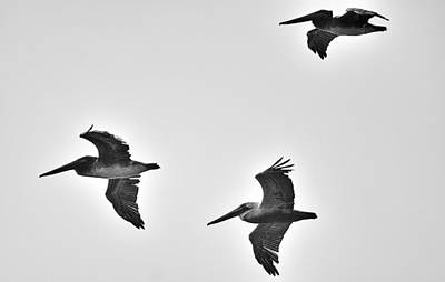 California Brown Pelicans In Black And White Art Print