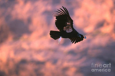 Condor Photograph - California Condor by Art Wolfe