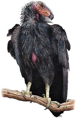 Condor Photograph - California Condor by Roger Hall