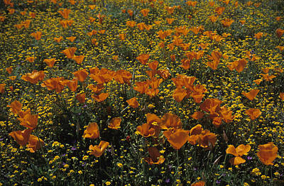 Poppy Photograph - California Gold Poppies by Susan Rovira