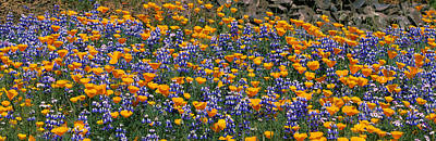 Table Mountain Photograph - California Golden Poppies Eschscholzia by Panoramic Images