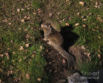 Photograph - California Ground Squirrel by Kristen Fox