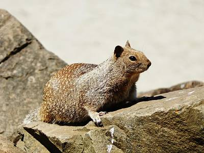 Photograph - California Ground Squirrel by VLee Watson
