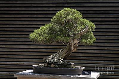 Jason O. Watson Photograph - California Juniper Bonsai Tree by Jason O Watson