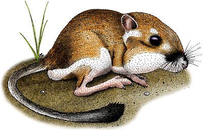 Photograph - California Kangaroo Rat by Roger Hall