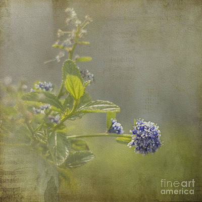 Photograph - California Lilac by Clare Bambers