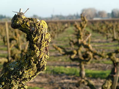 Ben Weinberg Photograph - California Lodi - Vineyards 2 by Benjamin Weinberg