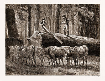 California Logging The Cross-cut Sawyer Art Print by Litz Collection