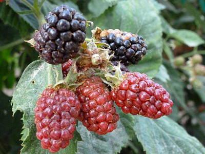 Ben Weinberg Photograph - California Napa - Long Meadow Ranch Raspberries by Benjamin Weinberg