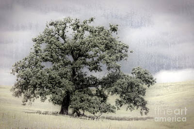 Amador County Photograph - California Oak Tree by Jim And Emily Bush