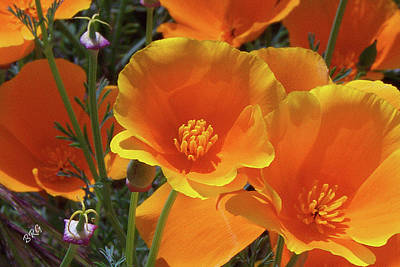 California Poppies Art Print by Ben and Raisa Gertsberg