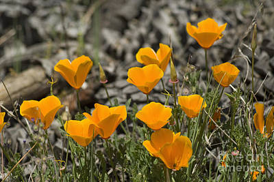 Photograph - California Poppies by Dan Suzio
