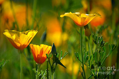 Photograph - California Poppies by Deb Halloran