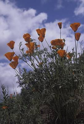 Photograph - California Poppies by Don Kreuter
