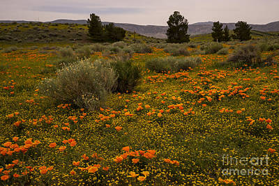 California Poppies In The Antelope Valley Art Print by Nina Prommer